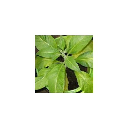 Tabák Walker's Broad leaf (rostlina: Nicotiana tabacum) cca 25 semen