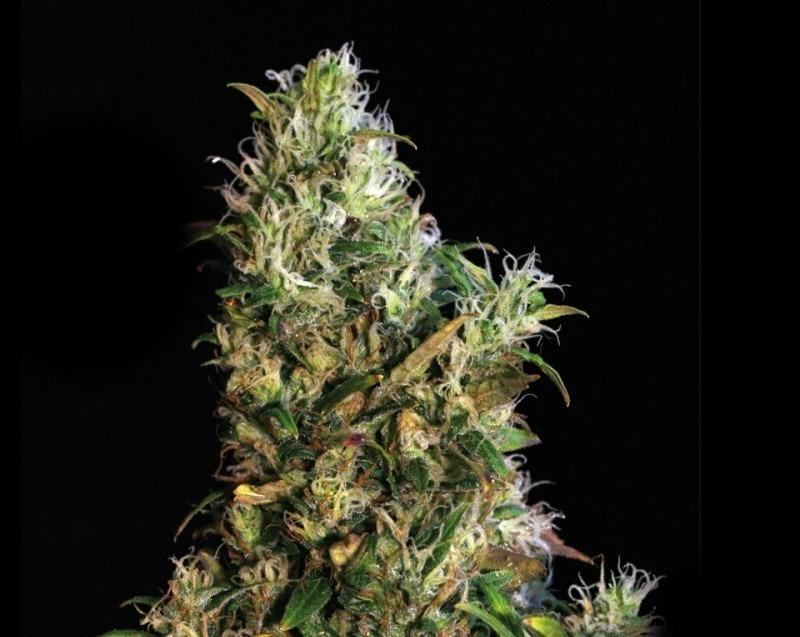 High Level - 6ks feminizovaná semená Eva Seeds