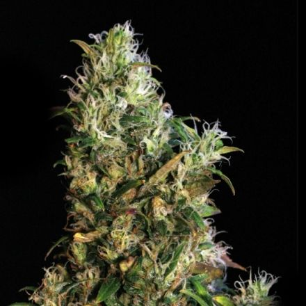 High Level – 9ks feminized semen Eva Seeds