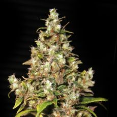 Monster – 9ks feminized semena Eva Seeds
