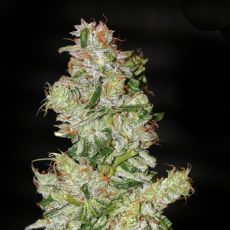 Nexus – 9ks feminized semena Eva Seeds