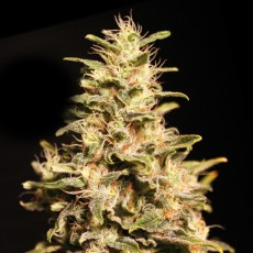Missing – 9ks feminized semena Eva Seeds