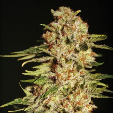 Papa´s Candy – 3ks feminizované semena Eva Seeds