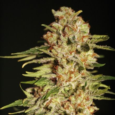 Papa´s Candy – 9ks feminized semena Eva Seeds