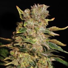 TNT Kush - 9ks feminized semená Eva Seeds