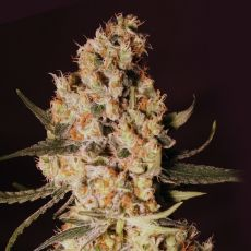 Jamaican Dream – 9ks feminized semena Eva Seeds