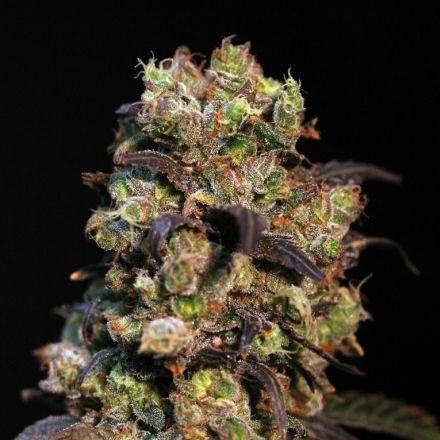 Pink Plant – 9ks feminized semena Eva Seeds