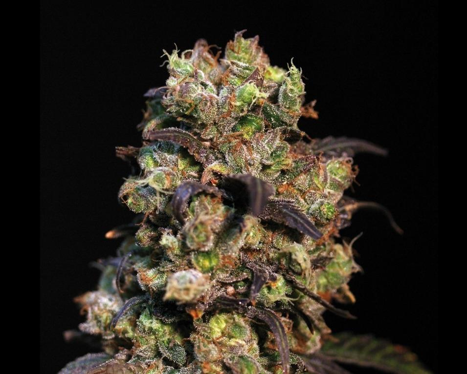 Pink Plant – 9ks feminizovaná semínka Eva Seeds