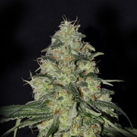 White Dragon – 3ks feminizovaná semena Eva Seeds