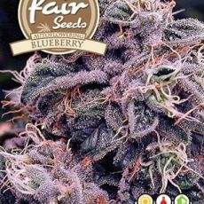 Auto Blueberry - 5 semínka autoflower Fair Seeds