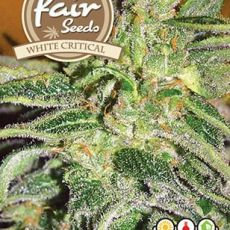 White Critical - 5 feminized semienka Fair Seeds