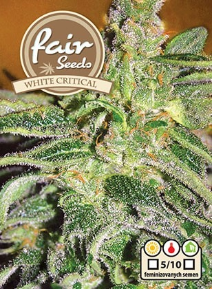 White Critical - 5 feminizované semena Fair Seeds