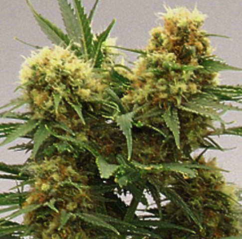 Skunk One Auto - 6 autoflowering semien Natural Seeds