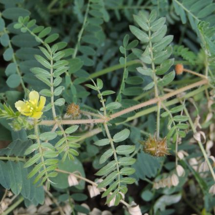 Kotvičník zemní (tribulus terrestris) nať 50g