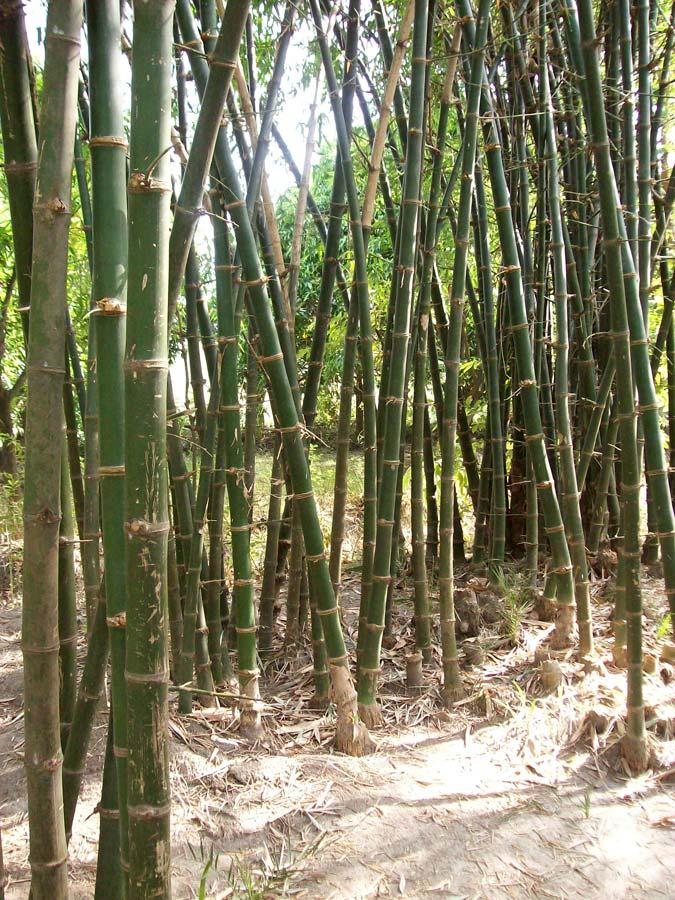 Bambus Male Bamboo (Dendrocalamus strictus) - 10 semen