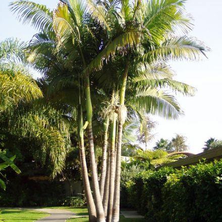 Ohnivá palma (Archontophoenix alexandrae King Palm) - 4 semen