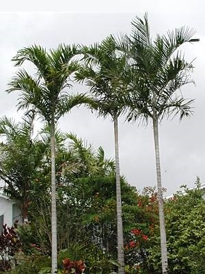 Palma štíhlá (Carpentaria acuminata - Carpentaria Palm) - 4 semen