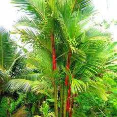 Palma červená (pečetní vosk) (Cyrtostachys renda - Sealing Wax Palm) - 4 semen