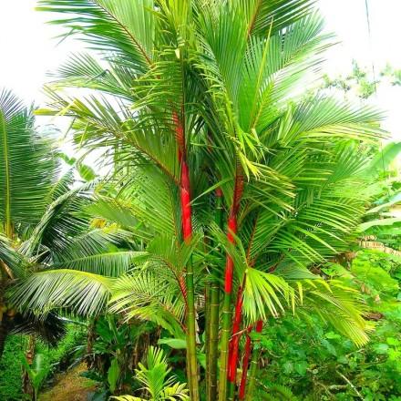 Palma oranžová (pečetní vosk) (Cyrtostachys renda - Sealing Wax Palm) - 4 semen