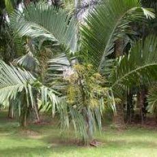 Palma zkroucená (Dypsis prestoniana - Tavilo Palm) - 4 semen
