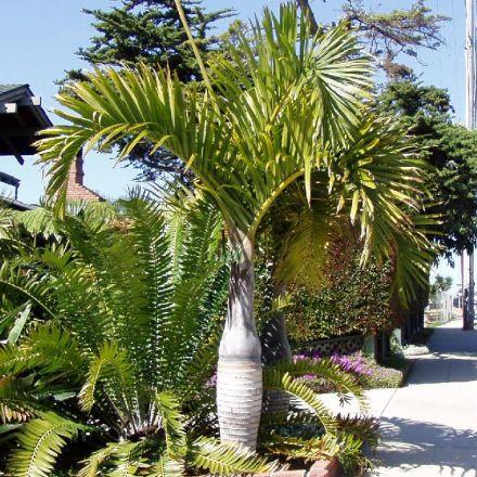 Palma elegantní (Hyophorbe verschaffeltii - Spindle Palm) - 4 semen