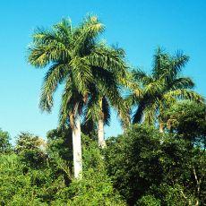 Kubánská palma (Roystonea regia Cuban Royal Palm) - 4 semen