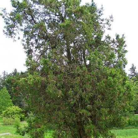 Thúje orientální (Platycladus orientalis) - 10 semen