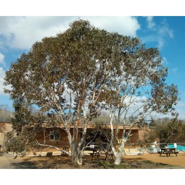 Eukalyptus sněhový Alpine Snow (Eucalyptus pauciflora subsp. niphophila - Alpine Snow Gum) - 8 semen