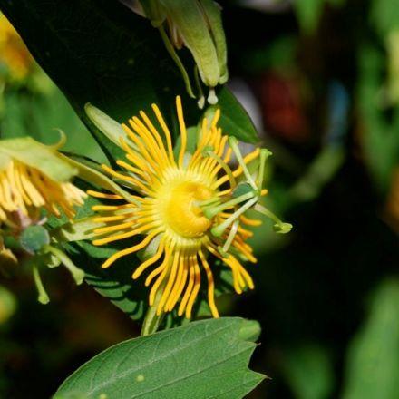 Mučenka žlutá (Passiflora edulis flavicarpa) - 6 semen