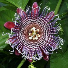Mučenka obří (Passiflora quadrangularis) - 6 semen