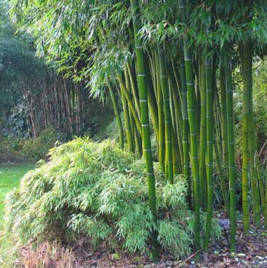 Bambus obecný (Bambusa Arundinacea) 3 semena