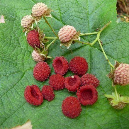 Ostružiník nutkajský (Rubus Parviflorus) - 6 semen