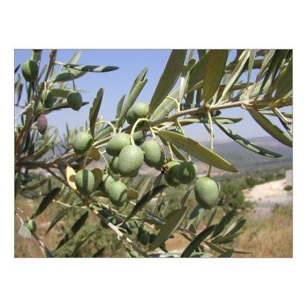 Olivovník evropský (Olea Europaea) - 5 semen