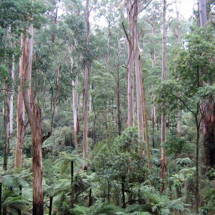 Eukalyptus regnans (Eucalyptus regnans) 8 semen