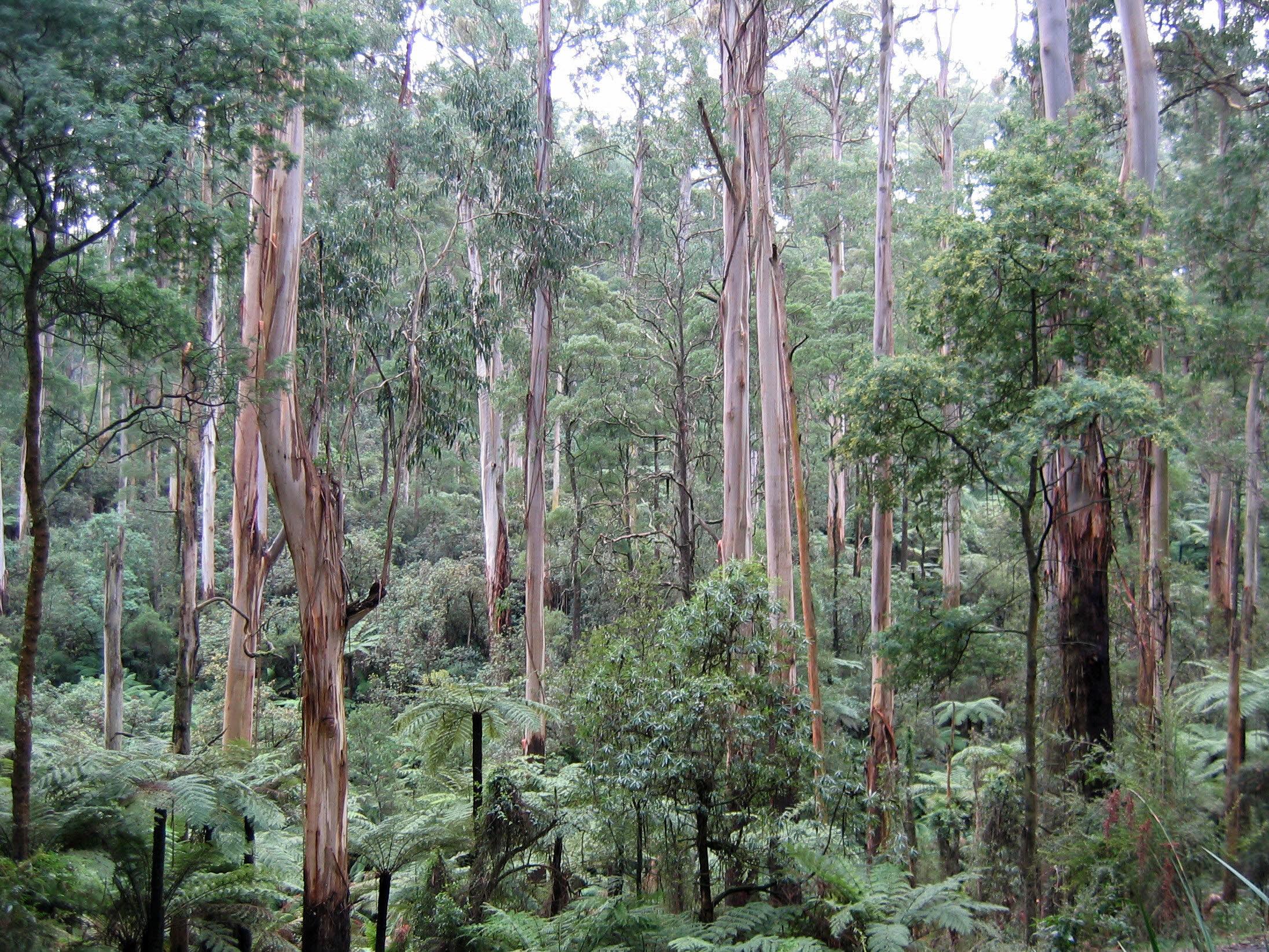 Eukalyptus regnans (Eucalyptus regnans) - 8 semen