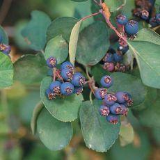 Rozinkový strom - Muchovník olšolistý (Amelanchier alnifolia) - 8 semen
