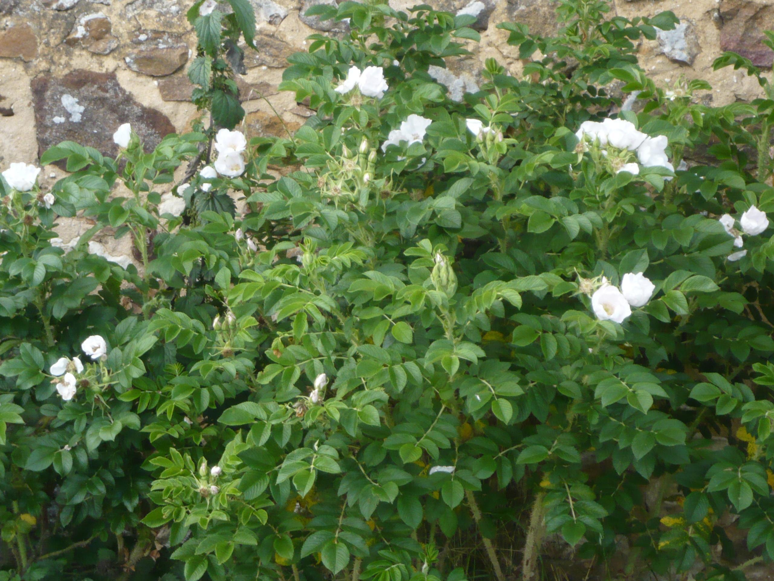 Růže svraskalá (Rosa rugosa Alba) - 10 semen