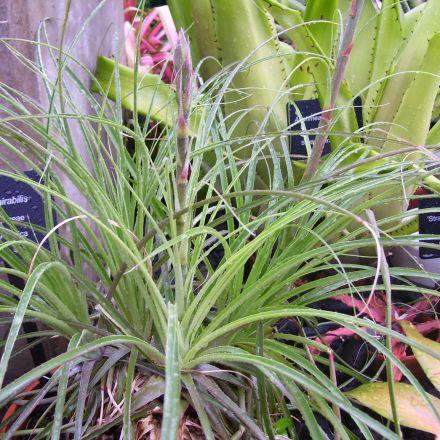 Puja mirabilis (Puya mirabilis) - 7 semen