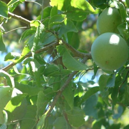 Oslizák líbezný (Aegle marmelos) - 5 semen