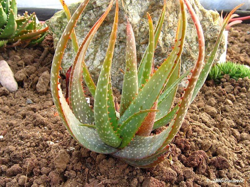 Aloe microstigma (Aloe microstigma) - 6 semen