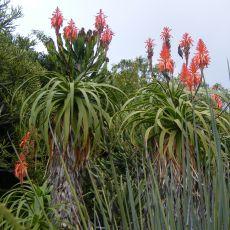 Aloe pluridens (Aloe pluridens) - 6 semen