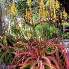 Aloe vanbalenii (Aloe vanbalenii) - 6 semen