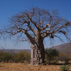 Baobab prstnatý (Adansonia digitata) - 5 semen