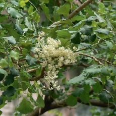 Dalbergia širokolistá (Dalbergia latifolia) - 9 semen