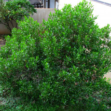 Dodonea lepkavá (Dodonaea viscosa) - 9 semen