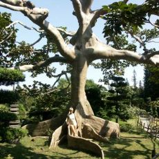 Vlnovec pětimužný (Ceiba pentandra) - 7 semen