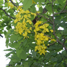 Kasie obecná (Cassia fistula) - 7 semen