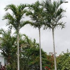 Palma acuminata (Carpentaria acuminata) - 4 semen