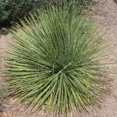 Agáve geminiflora (Agave geminiflora) - 10 semen