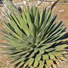 Agáve horrida (Agave horrida) - 10 semen